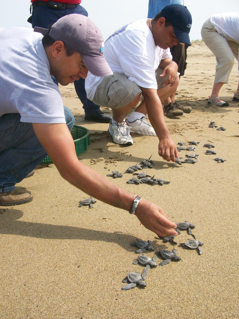 Releasing baby turtles into the ocean